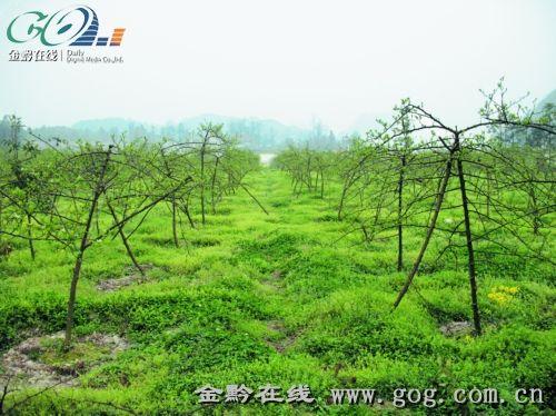 安顺金刺梨大规模种植